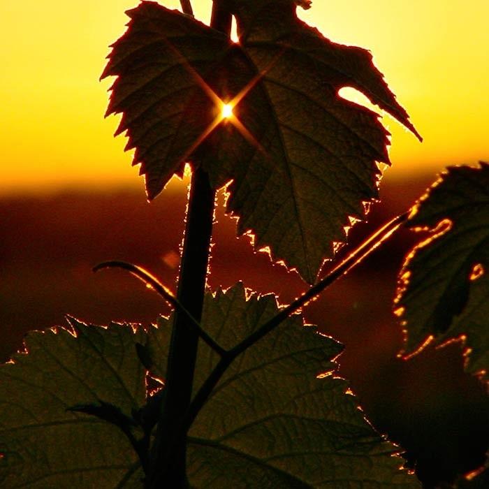 Photo carree - Domaine saint Jean de l'Arbousier -vignoble - feuilles de vignes - coucher de soleil - naturellement insolite Montpellier