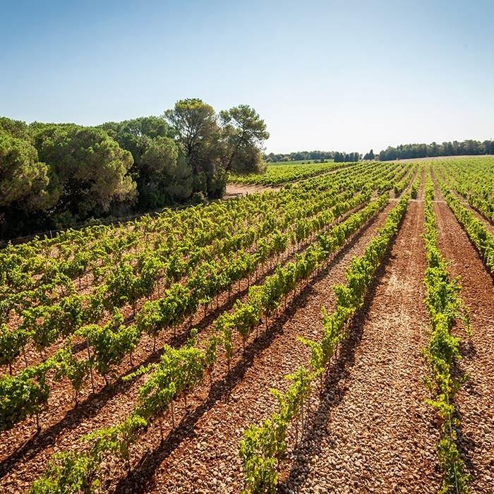 Photo paysage - Domaine de l'Arbousier. Domaine viticole avec vente de vin au caveau, commune de Castries, Hérault, France.