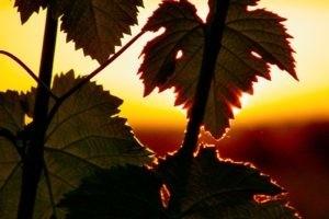 Photo - Domaine saint Jean de l'Arbousier -vignoble - feuilles de vignes - coucher de soleil - Montpellier