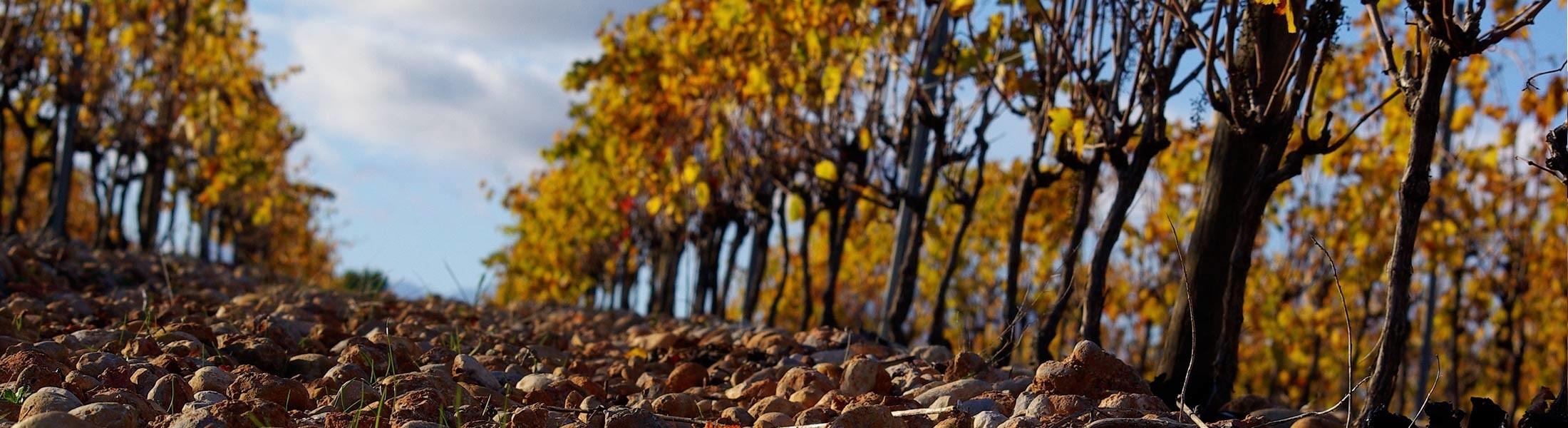 Photo header - terroir - terre et pierre - sol - vignes automne Montpellier Pic Saint Loup