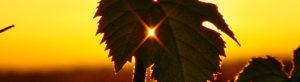 Header mon compte - Domaine saint Jean de l'Arbousier -vignoble - feuilles de vignes - coucher de soleil - naturellement insolite Montpellier